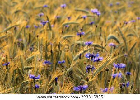 Blue cornflower with golden ripe wheat in field - stock photo