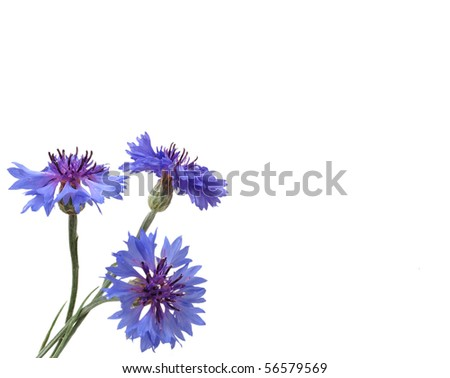 blue cornflowers - stock photo