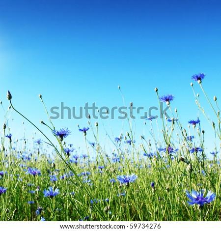 Blue cornflowers in wheat field. - stock photo