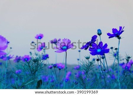 Blue Cosmos flowers with sky - stock photo