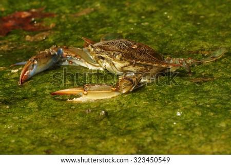 Blue crab, Callinectes sapidus - stock photo