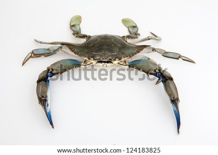 Blue crab isolated on white background under studio lights - stock photo