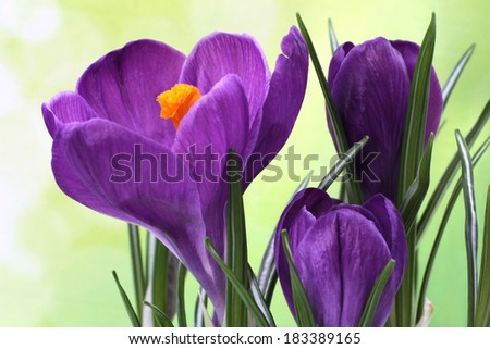 Blue crocus - spring flowers - stock photo