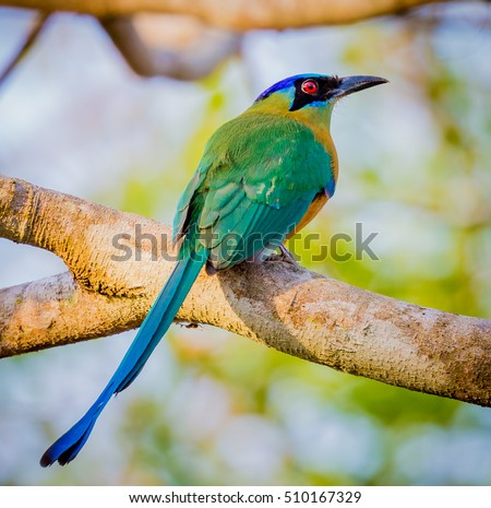 blue crowned motmot on branch