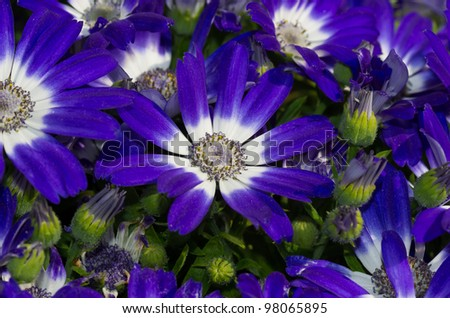 blue daisies - stock photo
