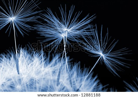 blue dandelion detail isolated on dark background - stock photo
