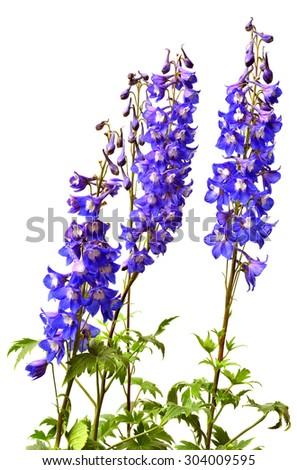 Blue delphinium flower isolated on white background - stock photo