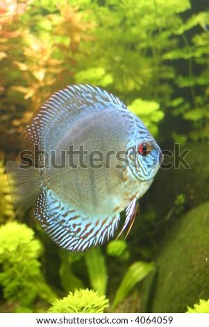 Blue Discus Aquarium Fish - stock photo