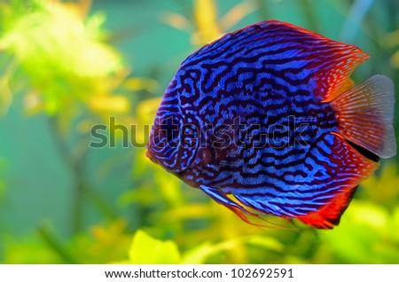 Blue discus fish in the aquarium - stock photo