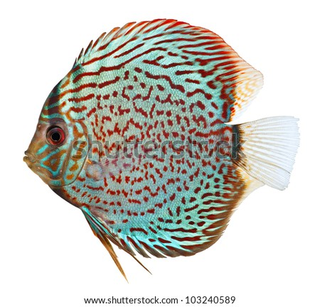 Blue discus fish isolated on white background