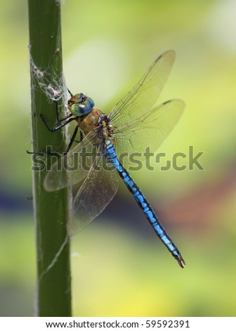 blue dragonfly - stock photo