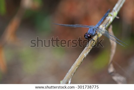 Blue dragonfly on a stick surveying around for a bug to eat - stock photo