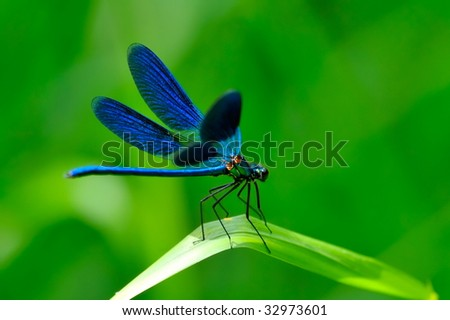 blue dragonfly outdoor