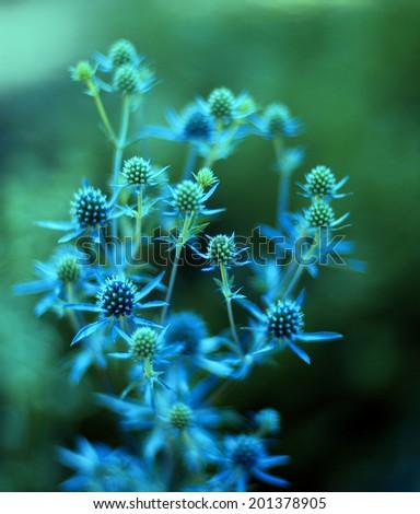 Blue Eringium plant on a green background. - stock photo