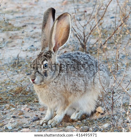 Blue -Eyed Black-Tailed Jackrabbit Pauses for It's Photograph. - stock photo