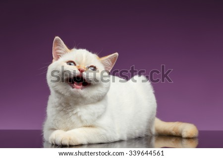 Blue Eyed British Kitten Meowing on Purple Background - stock photo