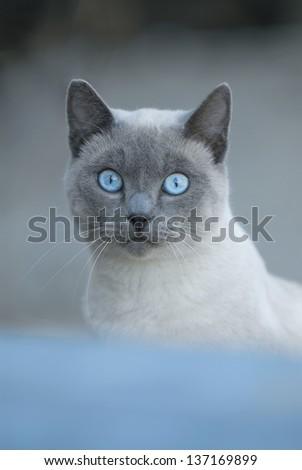 blue eyed cat - stock photo