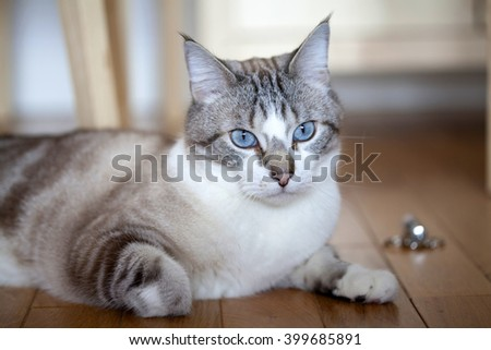 Blue eyed cat - stock photo