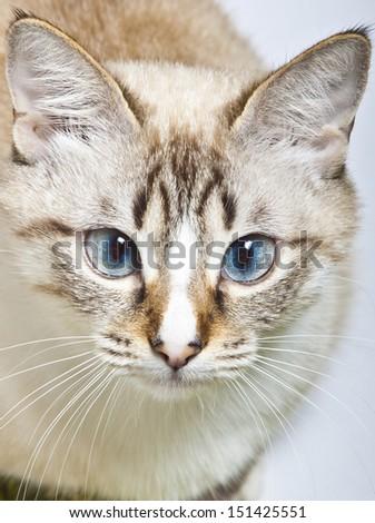 blue eyed cat head - stock photo