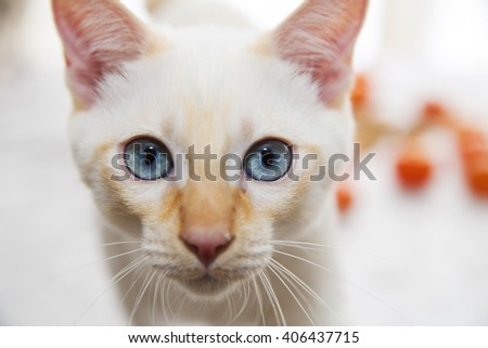 Blue-eyed cat looking directly at the camera - stock photo