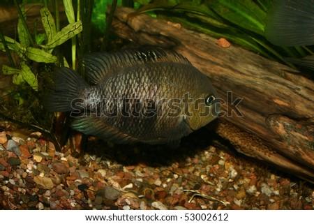 Blue Eyed Cichlid (Cryptoheros spilurus) - female at the clutch - stock photo