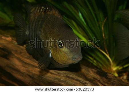Blue Eyed Cichlid (Cryptoheros spilurus) - female to a root - Portrait - stock photo