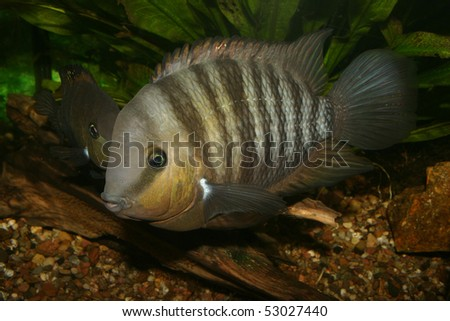 Blue Eyed Cichlid (Cryptoheros spilurus) - male at the clutch - stock photo