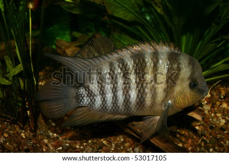 Blue Eyed Cichlid (Cryptoheros spilurus) - male to a root - stock photo