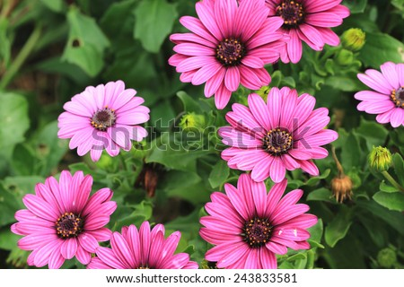 Blue-eyed Daisy,African Daisy,Cape Daisy,Spoon Daisy,red with purple African Daisy flowers in full bloom in the garden  - stock photo
