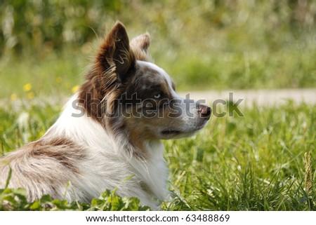 Blue eyed dog - stock photo