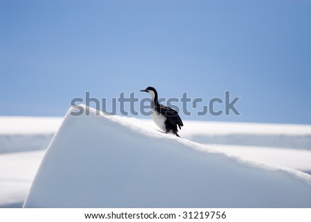 blue-eyed shag almost at the top of a snow mountain - stock photo
