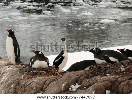 blue eyed shag and gentoo penguins in antarctica. - stock photo