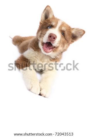 Blue-eyed smiling Siberian Husky - stock photo