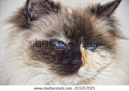blue eyes white black ragdoll cat stock photo royalty free