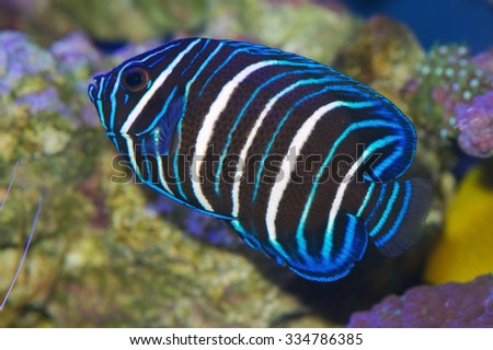 Blue faced angelfish, Pomacanthus xanthometopon, juvenile colors - stock photo