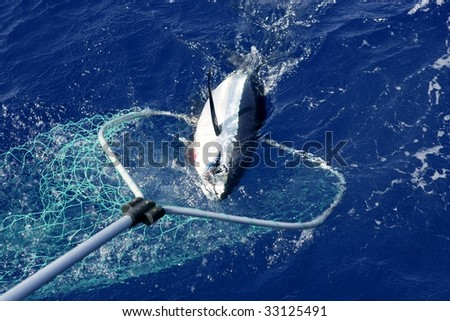 Blue fin tuna Mediterranean big game fishing and release - stock photo