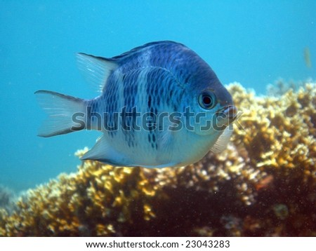 Blue fish over corals and blue water