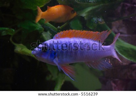 Stock images similar to id 334310 chicklet malawi fish Freshwater fish with red fins