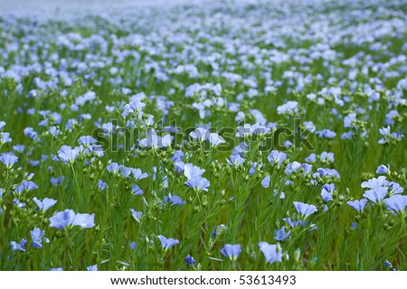 blue flax field closeup at spring, shallow depth of field - stock photo