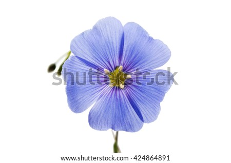 Blue flax flower isolated on white background - stock photo