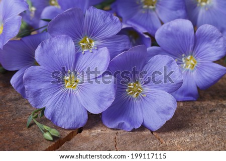 Blue flax flowers close up on an old wooden board. horizontal  - stock photo