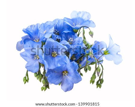 Blue flax flowers isolated on a white background, for design