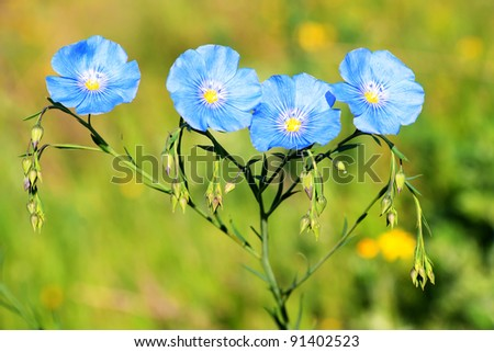 Blue flax group flowers in the field - stock photo