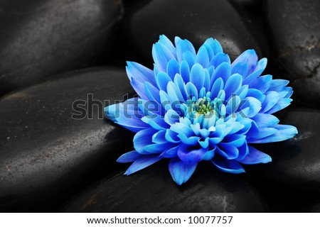 blue flower bloom blossom black stone detail background abstract nature - stock photo