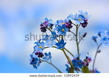 Blue flower. forget-me-not - stock photo