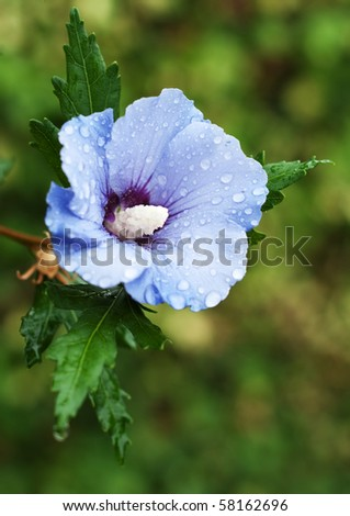 Blue flower of a hibiscus in the rain against a green background - stock photo