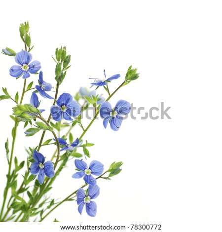 blue flower on a white background, isolated flower, closeup - stock photo
