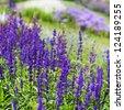 Blue flowerbed with meadow sage, Salvia nemarosa - stock photo