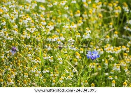 Blue flowering Cornflower or Centaurea cyanus plants between  many yellow and white overblown wild Chamomile or Matricaria chamomilla plants on a sunny day in the summer season. - stock photo