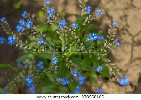 blue flowers forget-me-in the shade close up on blurred background cracked earth. - stock photo